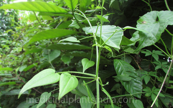 Indian Madder - Medicinal Plants of India