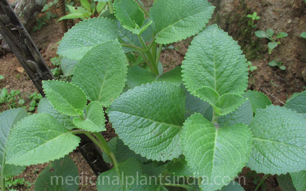 India Borage - Medicinal Plants of India