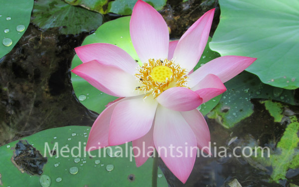 Lotus medicinal plants of india lotus mightylinksfo
